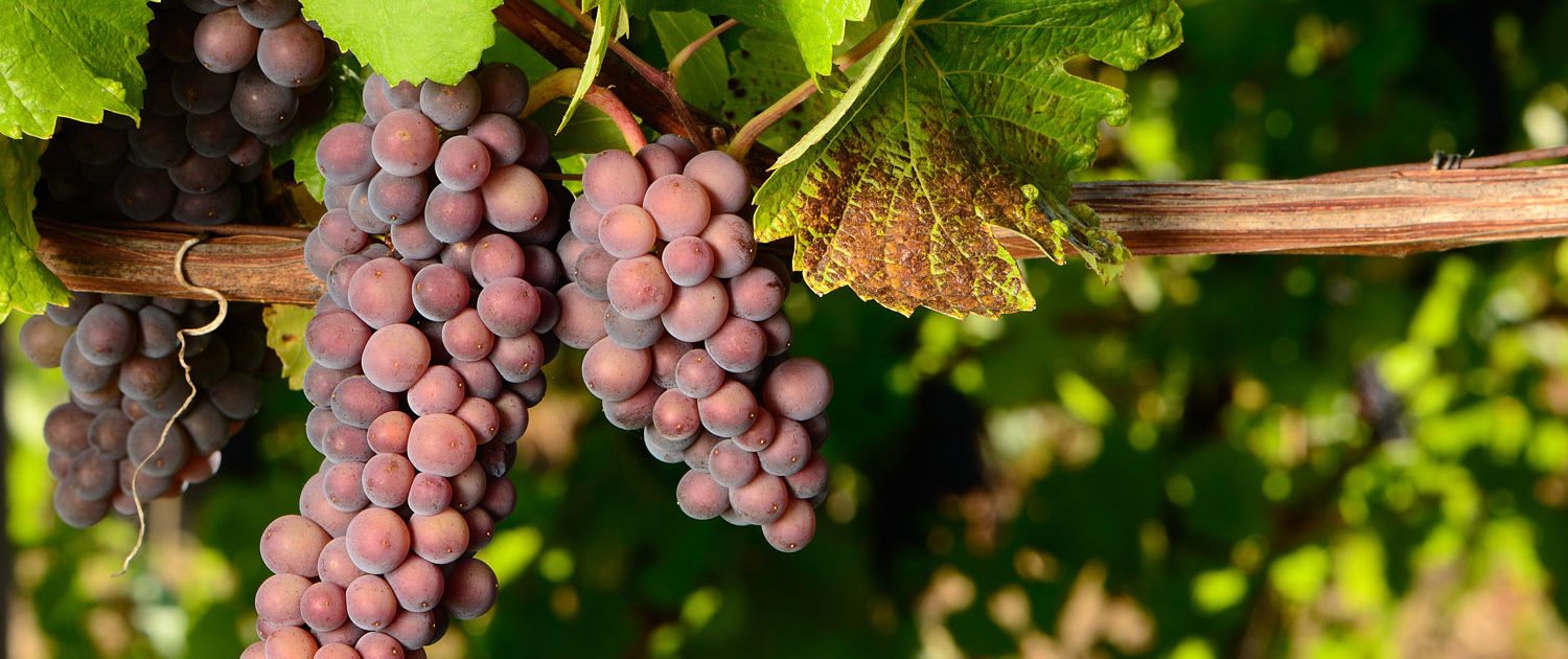 Close up of pinot gris grapes ripening on vine