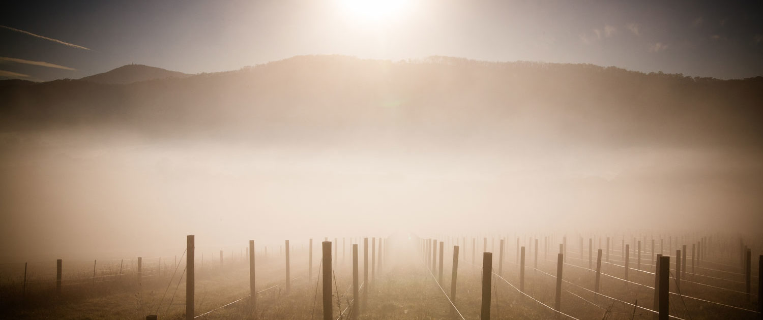 First Day of Spring - misty juvenile vineyard plot at sunrise